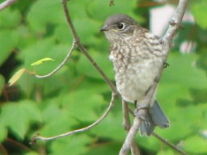 BluebirdFledgling_052308